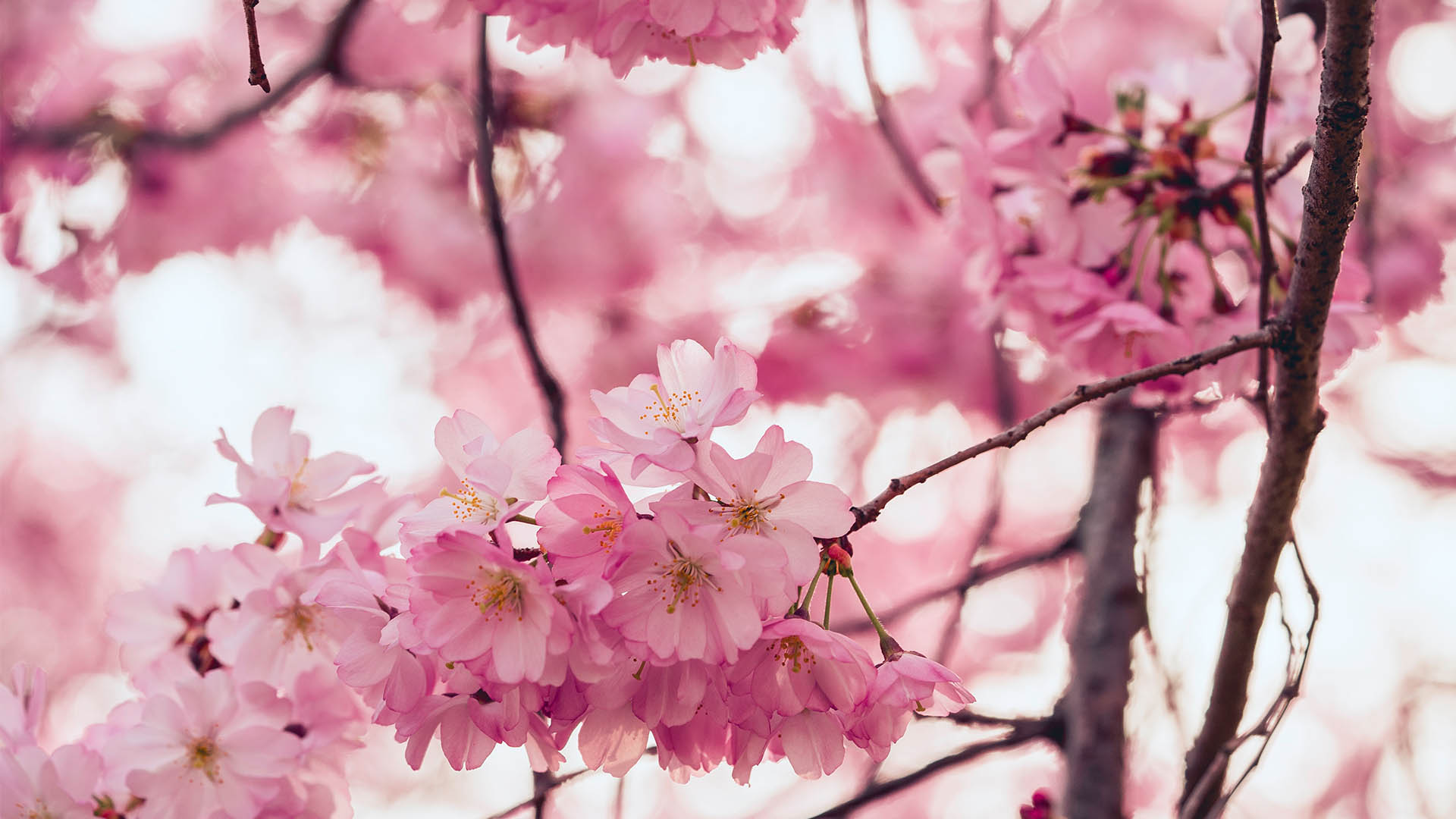 Sakura in spring: the ultimate guide to cherry blossom season